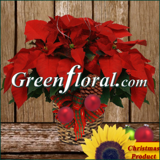 The Red Poinsettia Plant With Designer\'s Accents