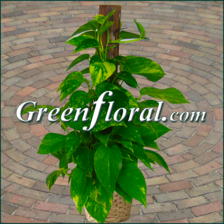 The Golden Pothos Plant