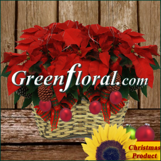 The Double Red Poinsettia Plant With Designer\'s Accents