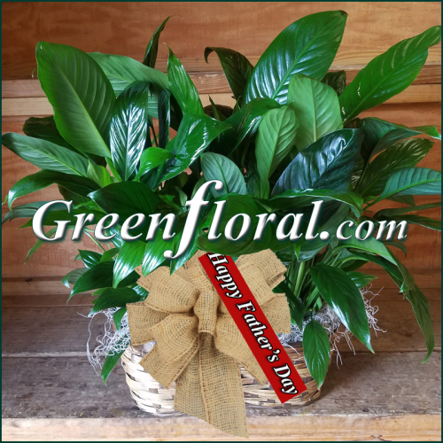 Father\'s Day Double Plant Peanut Basket-Two Peace Lily Plants